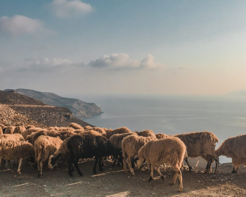 sheep in front of the sea on gramvousa