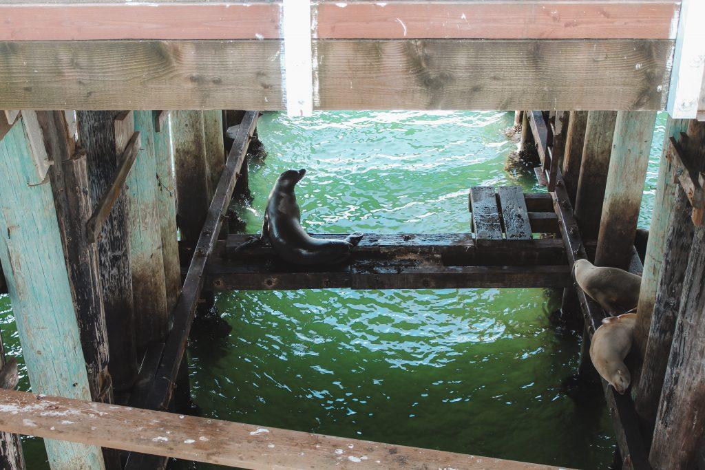 sea lions under the docks