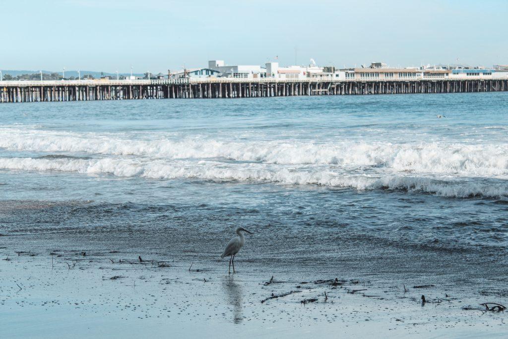seagull at cowell beach