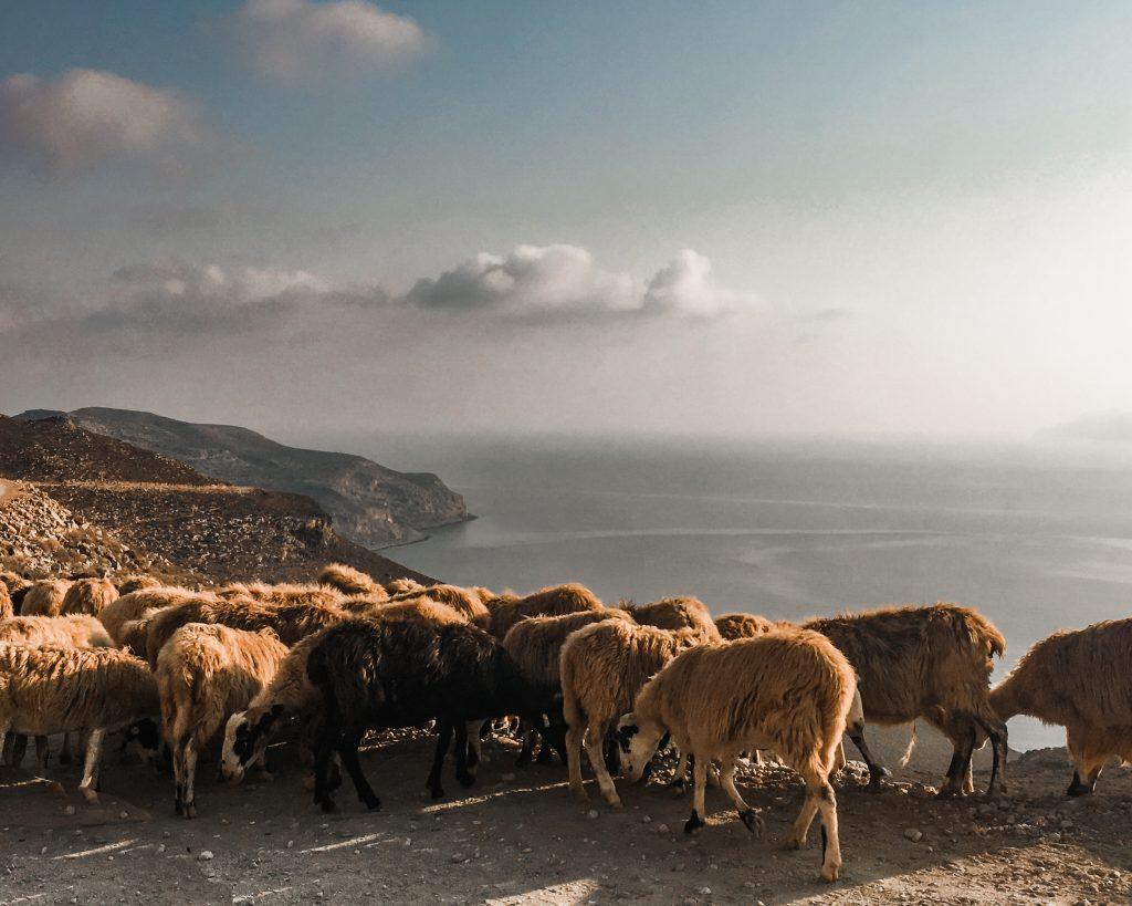 goats blocking the road on the gramvousa peninsula