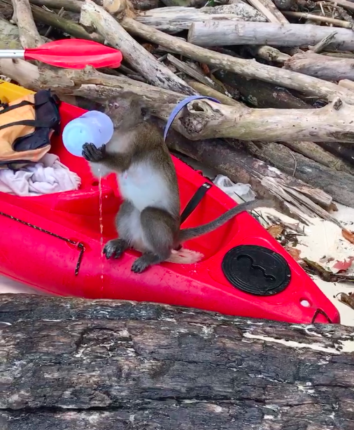 a monkey on our kayak drinking our water