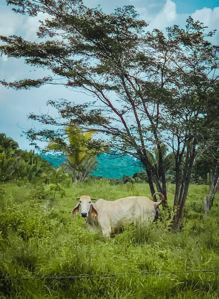 cattle on mayan farmland